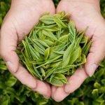 Lại thêm 1 công dụng mới của trà xanh: Thải Độc Tóc!