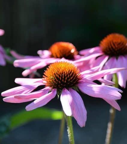 Những sản phẩm chăm sóc và điều trị rụng tóc với hoa cúc nào bạn không nên bỏ qua?
