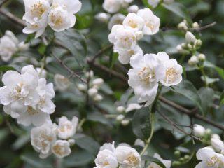 Dành tặng nàng những mùi hoa nhài đẹp nhất vào mùa thu này