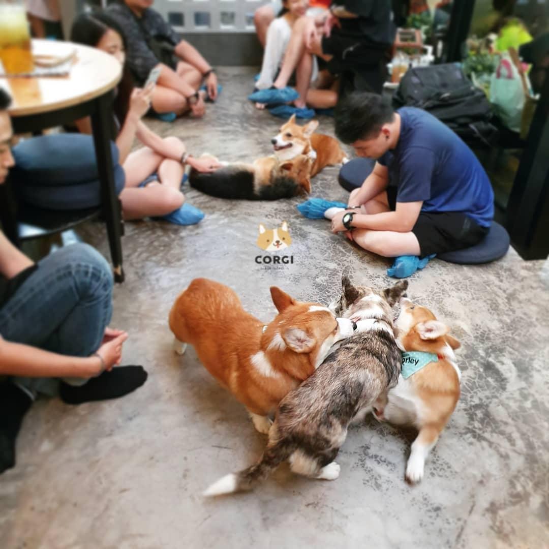Cafe Corgi ở Thái Lan