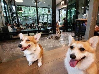 """""""Truyền Thái Y"""" Gấp: Tiệm café có 14 boss Corgi Siêu Cấp Đáng Yêu Đã Giá Lâm"""