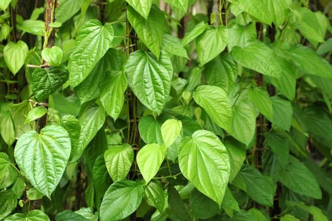 Kết quả hình ảnh cho betel leaf