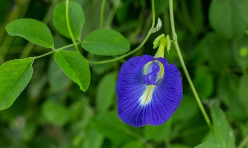 Hình ảnh cây hoa đậu biếc