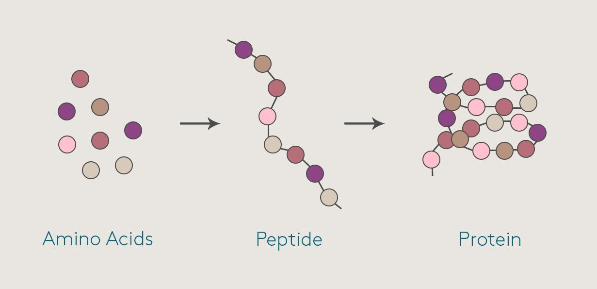 peptide là gì